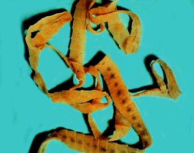 Стадии развития червя фото